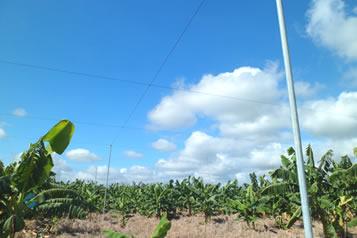 Amarre aéreo banano
